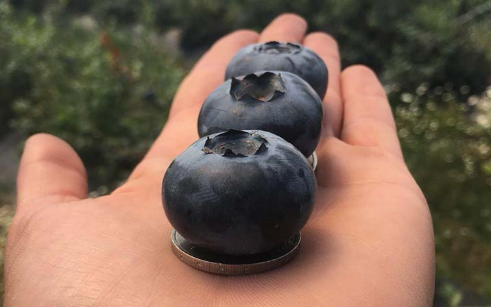 World Record Blueberry grown on The English Summer Berry Company's Almeidas Farm in Portugal